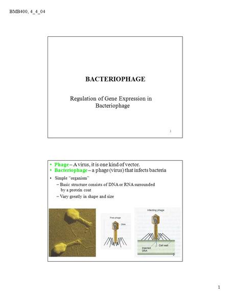 BMB400, 4_4_04 1 1 Regulation of Gene Expression in Bacteriophage BACTERIOPHAGE 2 Phage – A virus, it is one kind of vector. Bacteriophage – a phage (virus)