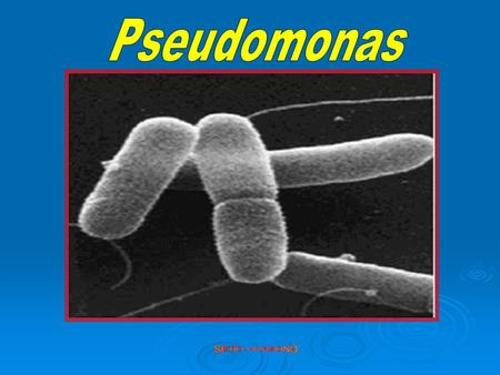Pseudomonas SETIO HARSONO.