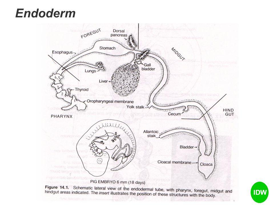 Mesoderm  jar otot dan penghubung, jaringan epitelial The mesoderm secara spesifik menurunkan, skeleton otot-otot skeletal tulang kepala dan rahang mesoderm  somit-somit  segmentasi tubuh which divide bodies into cross sections which may be stacked, for example, from head to toe.