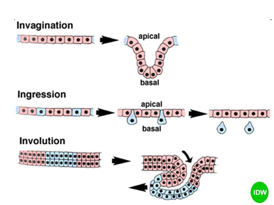 Posisi sel mempengaruhi peta takdir & derivatnya Induksi: mempengaruhi terjadinya diferensiasi e.g., posisi notokorda  induksi ektoderm disebelahnya  membentuk lempeng saraf IDW