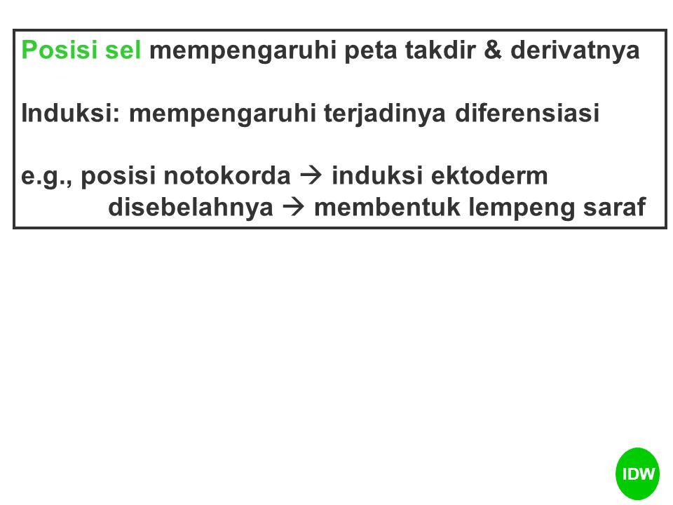 Notokorda Ektoderm Buluh saraf Contoh: IDW