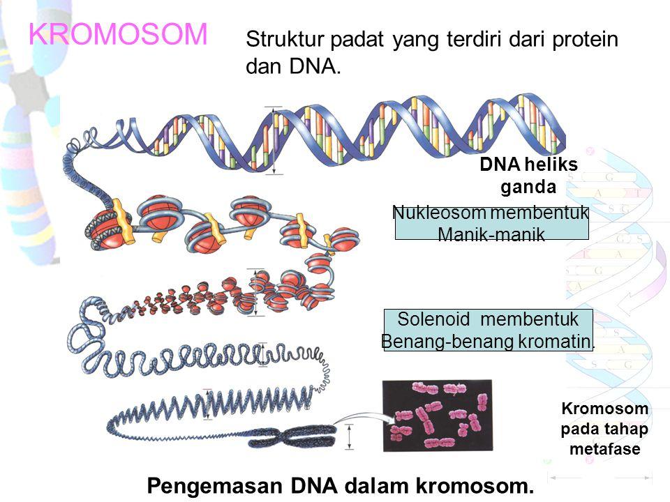 KROMOSOM Pengemasan DNA dalam kromosom.