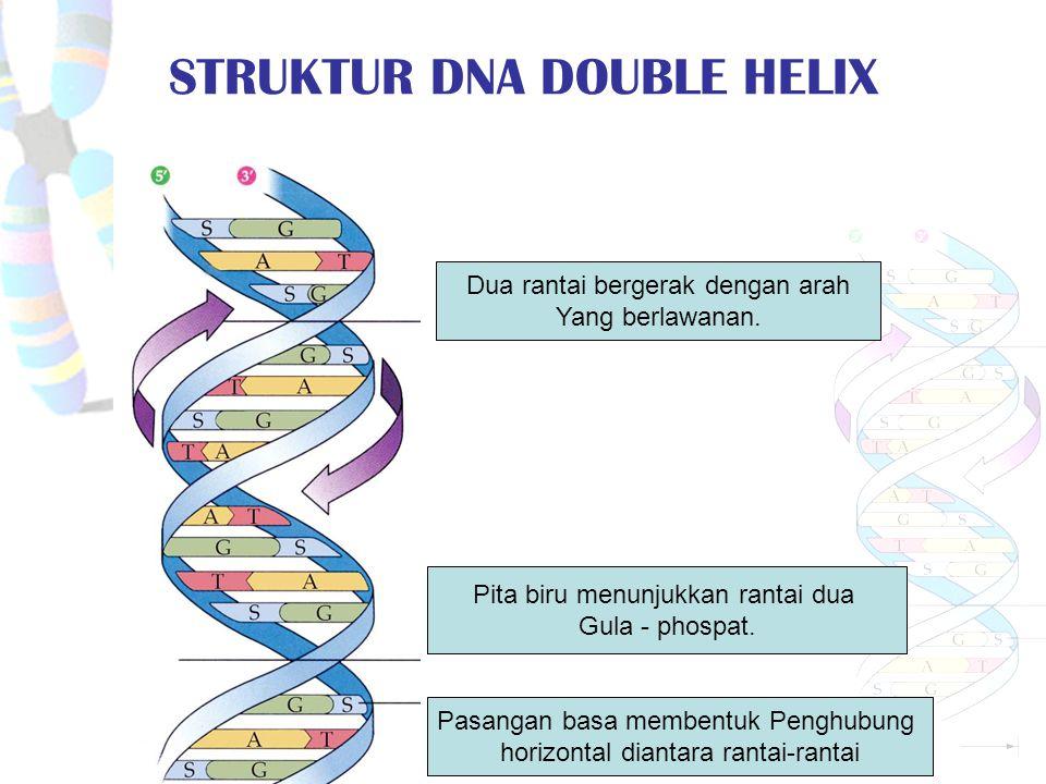 STRUKTUR DNA DOUBLE HELIX Pita biru menunjukkan rantai dua Gula - phospat.