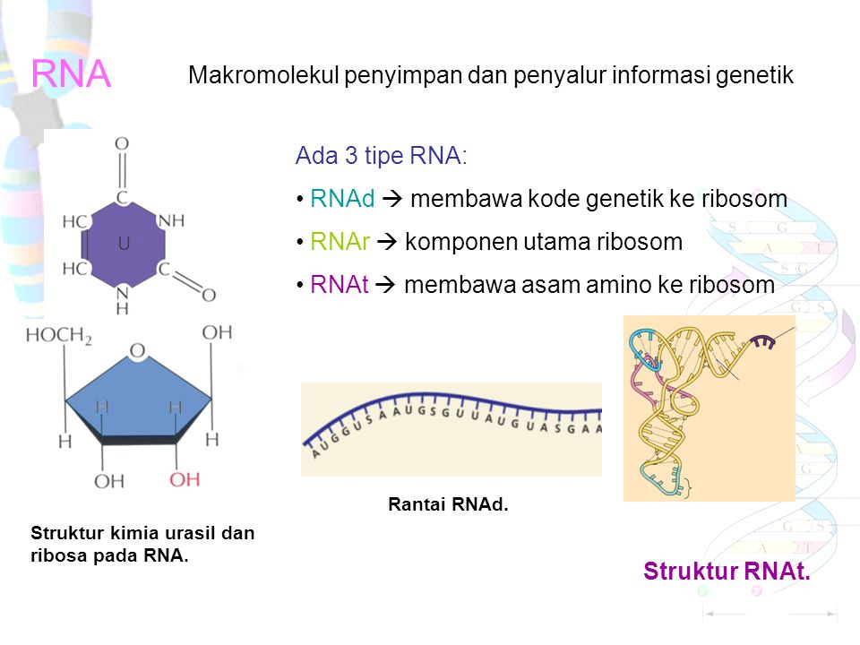 RNA Struktur kimia urasil dan ribosa pada RNA.Struktur RNAt.