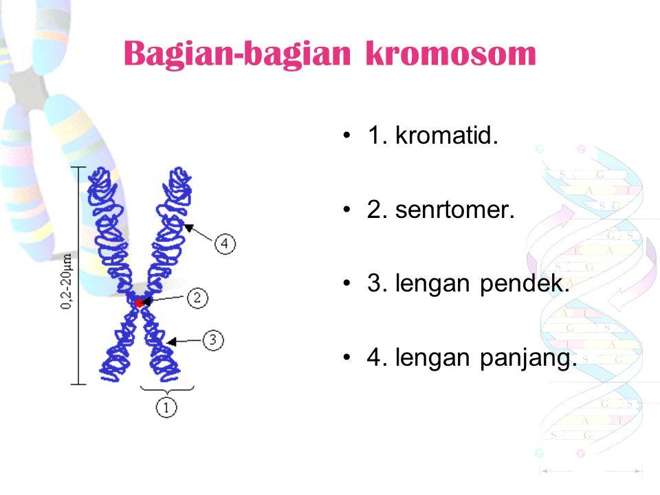 Bagian-bagian kromosom 1. kromatid. 2. senrtomer. 3. lengan pendek. 4. lengan panjang.
