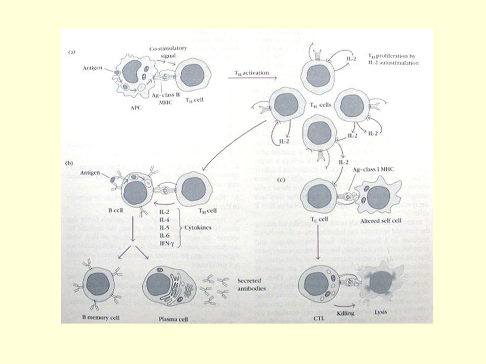 Imunitas humoral Diperankan oleh antibodi, protein yg tdpt dalam serum & cairan tubuh mamalia  merupakan fraksi  globulin disebut imunoglobulin (Ig) Diproduksi dan disekresikan oleh limfosit B yang distimulasi antigen (sensitized B lymphocytes) sehingga berubah menjadi sel plasma.