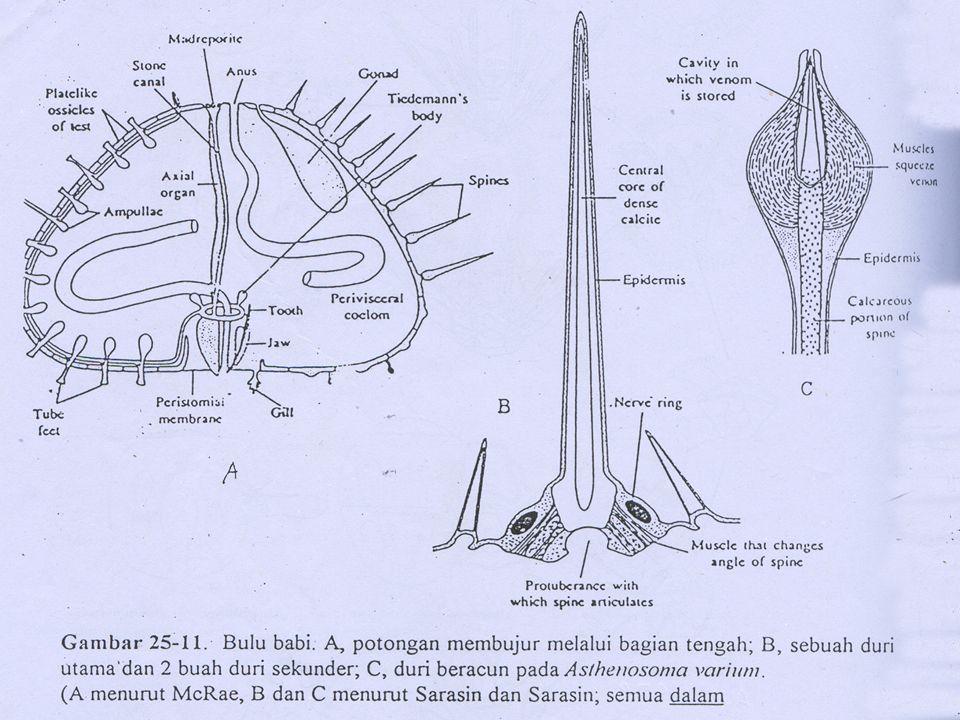 Klasifikasi : Phylum : Echinodermata sub phylum : Echinozoa clas : Echinoidea sub clas : Perichoechinoidea(irregularia) Echinoidea (regularia) Habitat : Hidup soliter & mengelompok Makan : Rumput laut, binatang mati, pasir & lumpur Mencari mkn pd malam hari Alat gerak kaki tabung, duri & podia
