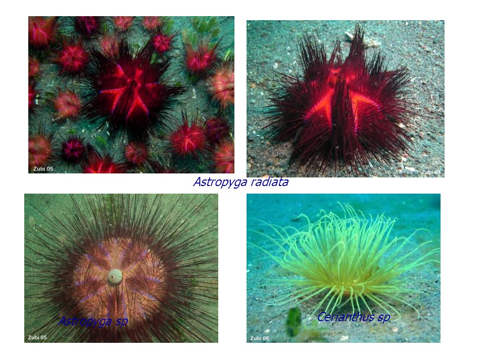 Mespilia globulus Diadema setosum 2 Lithechinus semituberculatus Diadema setosum 1