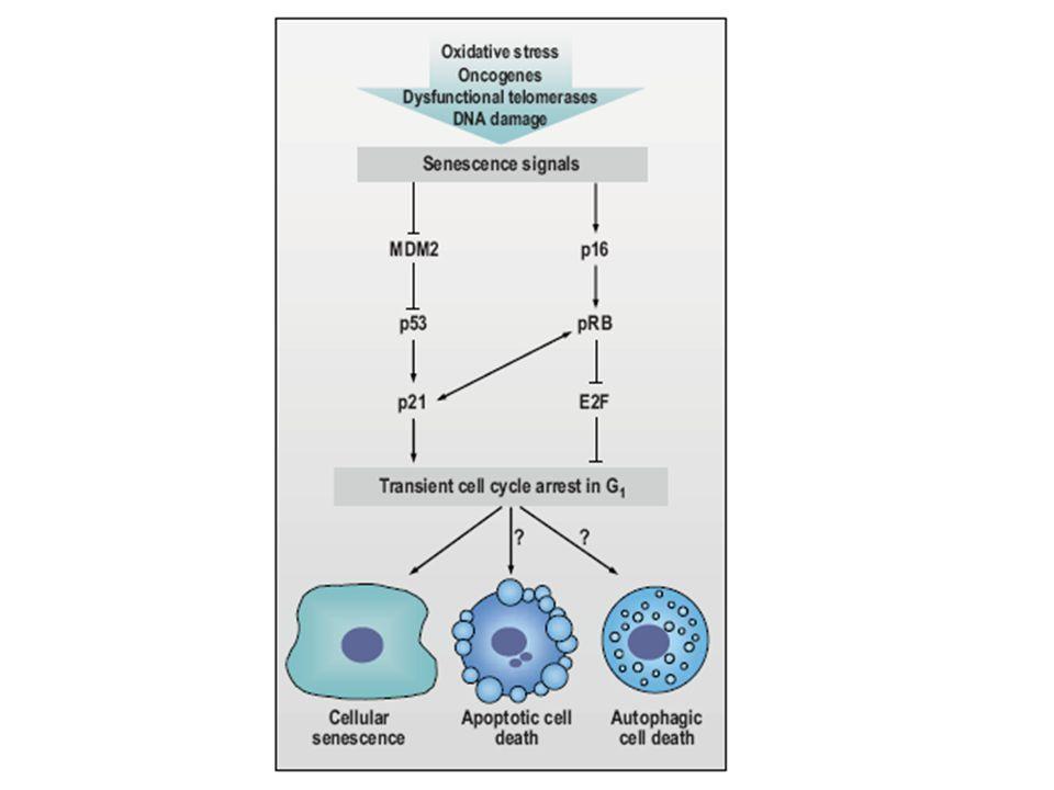 Stimuli utama penyebab terjadinya aging - Pemendekan telomer (telomere shortening), - Kerusakan DNA dan - stress oksidatif 2 jalur utama terjadinya aging adalah : Jalur p53 Jalur pRB
