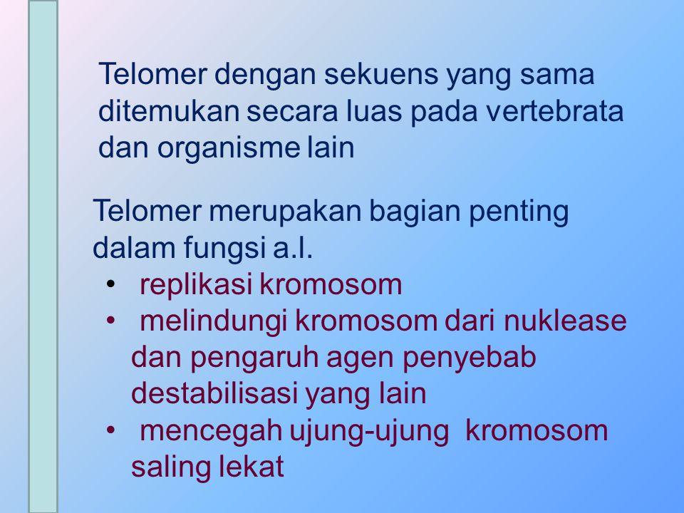  Panjang telomer berkurang seiring waktu dan jumlah pembelahan sel TELOMER DISINTESIS OLEH TELOMERASE TELOMERASE TIDAK DITEMUKAN PADA SEL-SEL MAMALIA DEWASA