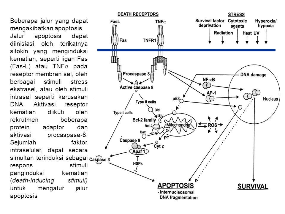 Fungsi apoptosis 1.Kematian sel (Cell termination)  untuk sel-sel terinfeksi virus sel-sel rusak yang mengalami kegagalan saat perbaikan sel yang mengalami stress kondisi-kondisi seperti kelaparan  sel yang mengalami kerusakan DNA karena radiasi atau bahan toksik  mencegah timbulnya kanker 2.Homeostasis  memelihara jumlah sel 3.Perkembangan