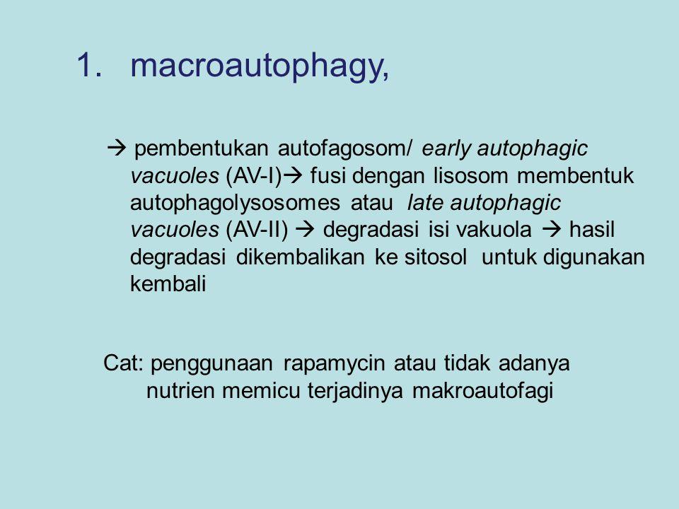 2.microautophagy,  langsung melalui membran lisosom.