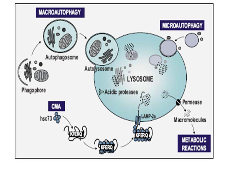 autophagy, dilaporkan menurun seiring umur (penelitian pada C.
