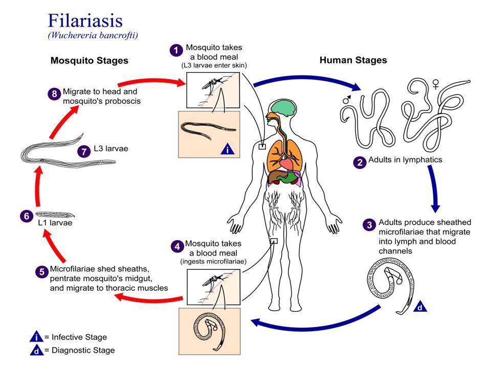 Pencegahan Hendaknya penderita penyakit filariasis diharapkan untuk memeriksakan kondisisnya ke dokter, agar dapat mendapatkan penanganan obat – obatan sehingga tidak menyebabkan penularan kepada masyarakat lainnya.