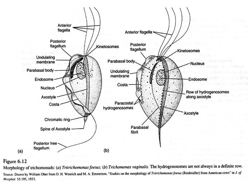 Siklus hidup T.Vaginalis Transmisi infeksi yang sering adalah melalui hubungan seksual di mana wanita menjadi reservoir infeksi dari laki-laki.