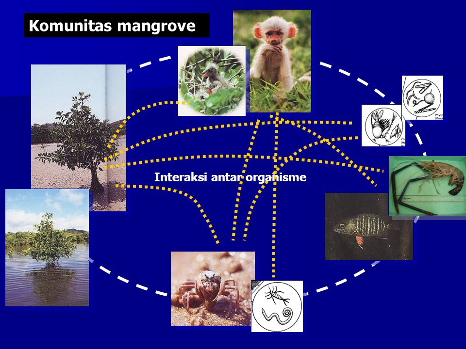 Pohon mangrove Daun gugur dimakan kepiting dan dikeluarkan lagi berupa feses Feses kepiting dimakan oleh organisme kecil dan organisme kecil dimakan oleh organisme yang lebih besar Daun mangrove yang gugur Liang-liang/ lubang kepiting penting untuk aerasi tanah dan pencucian garam-garam yang ada di tanah Spesies kepiting: Sesarma sp Metopograpsus sp