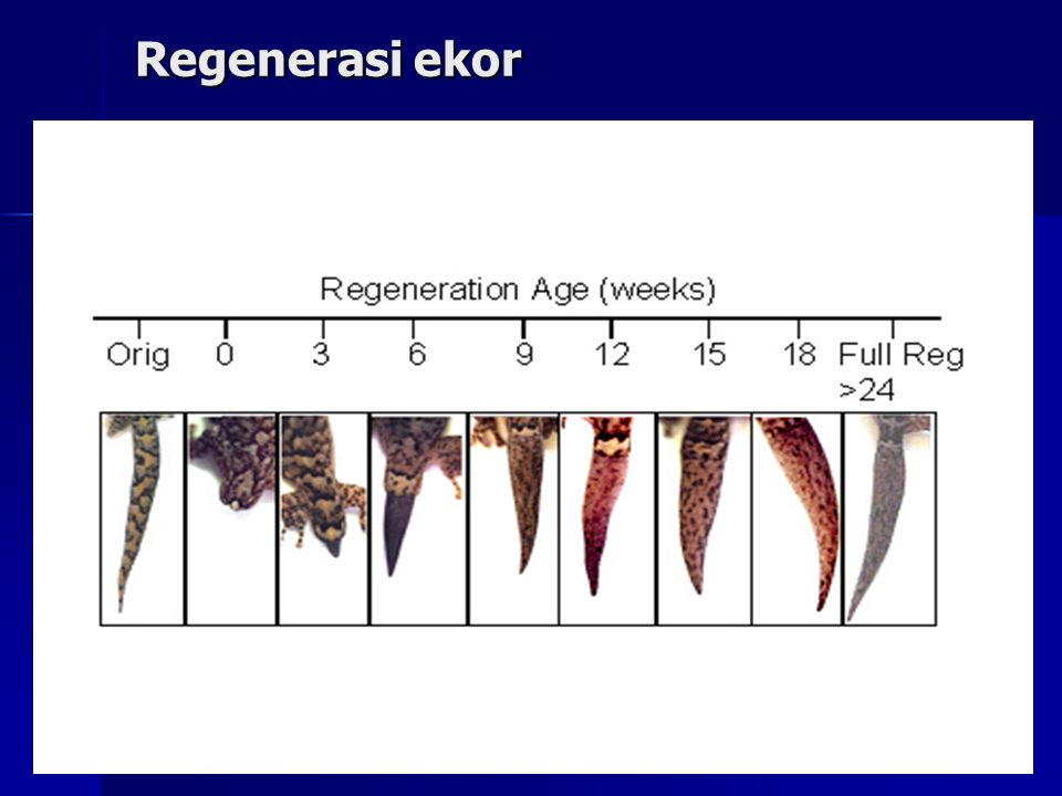 Regenerasi tulang