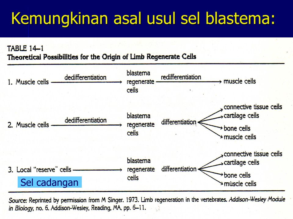 Sel cadangan merupakan sel yang belum berdeferensiasi, atau mungkin sebagai stem cell.