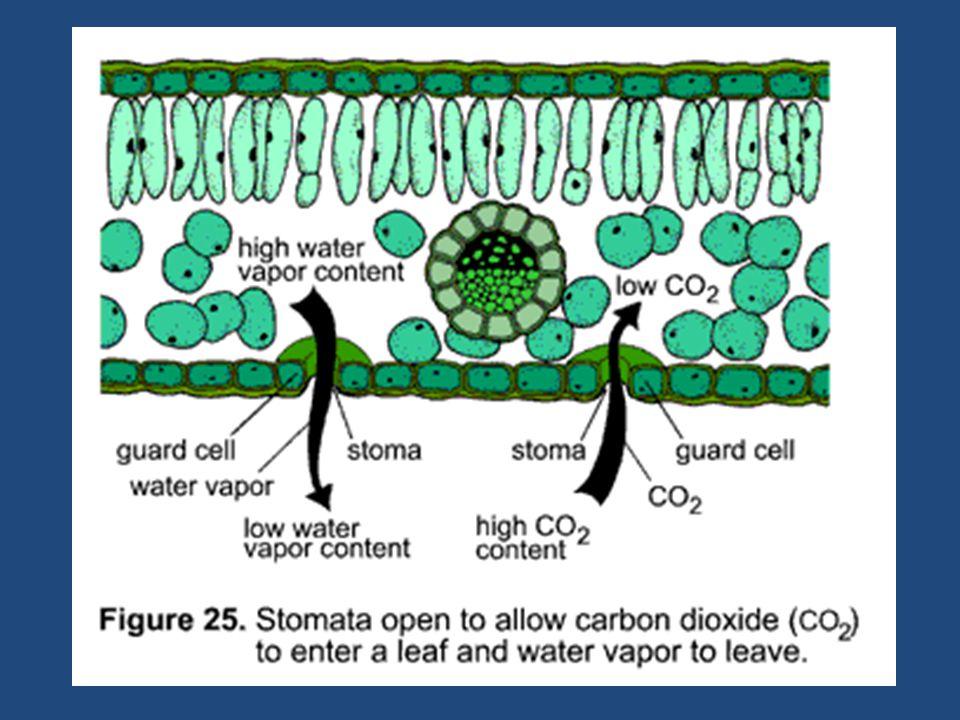  Merupakan organel tempat berlangsungnya fotosintesis.