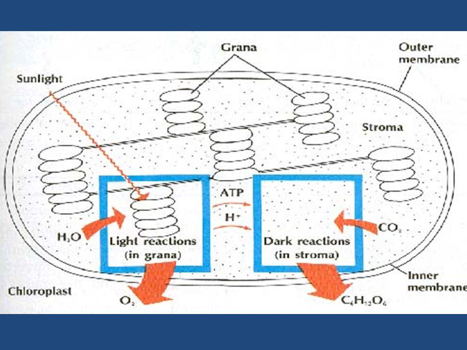 Energi matahari mutlak diperlukan untuk proses fotolisis air sehingga menghasilkan (ATP & NADPH) yang diperlukan untuk reaksi gelap.