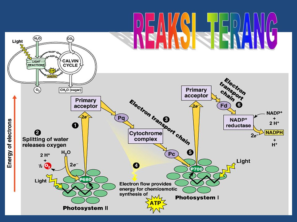  Energi asimilasi (ATP & NADPH) yg diperoleh dari reaksi terang, digunakan utk mengubah CO 2 menjadi karbohidrat.