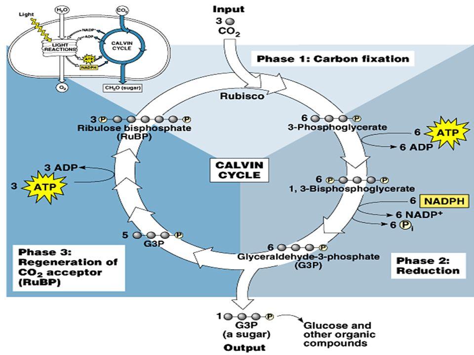 Sumber C  CO 2  Sumber Energi  Reaksi kimia Cara: Oksidasi metabolit Anorganik (ex: H 2, H 2 S, S, Fe, NH 3, NO 2 ) dari lingkungan.