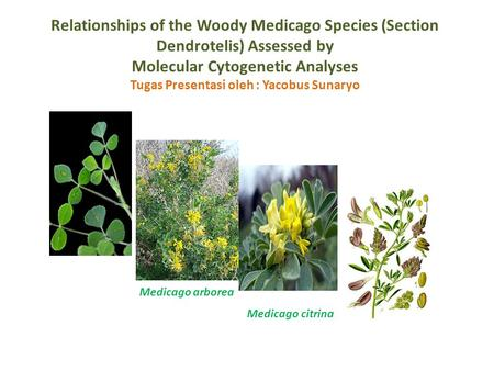 Relationships of the Woody Medicago Species (Section Dendrotelis) Assessed by Molecular Cytogenetic Analyses Tugas Presentasi oleh : Yacobus Sunaryo Medicago.