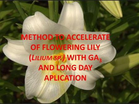 METHOD TO ACCELERATE OF FLOWERING LILY (L ILIUM SP.) WITH GA 3 AND LONG DAY APLICATION.