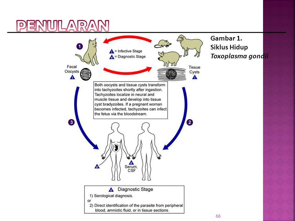 PENULARAN Gambar 1. Siklus Hidup Toxoplasma gondii