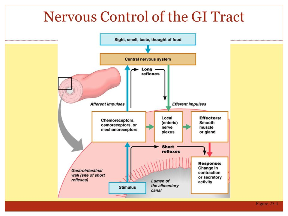 Nervous Control of the GI Tract