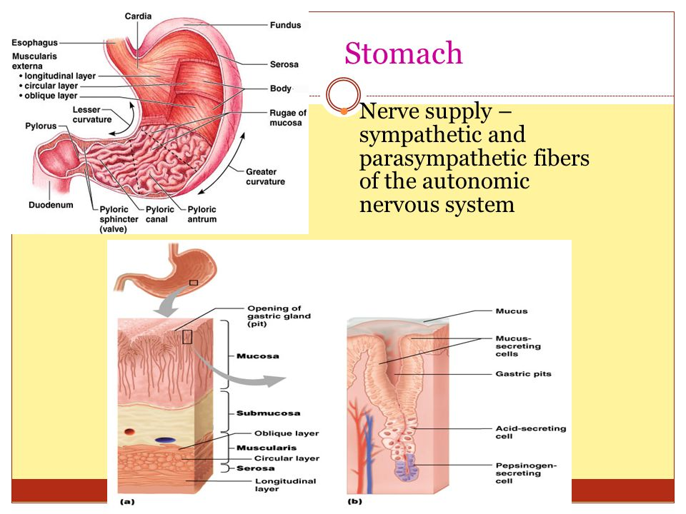 Stomach Nerve supply – sympathetic and parasympathetic fibers of the autonomic nervous system