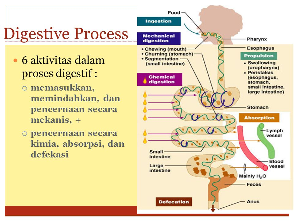 Digestive Process 6 aktivitas dalam proses digestif :