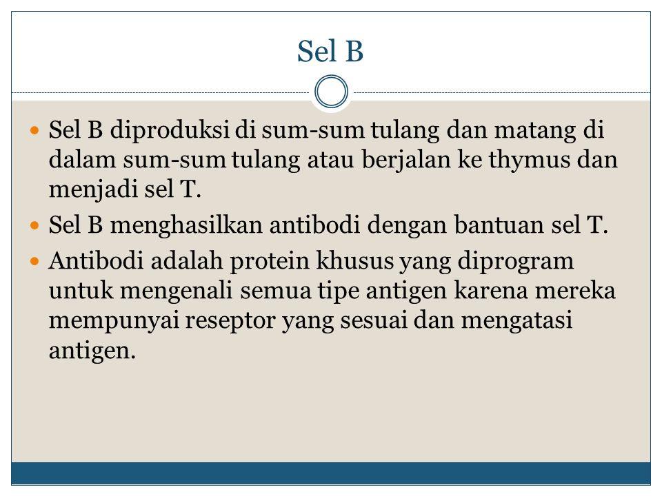Sel B Sel B diproduksi di sum-sum tulang dan matang di dalam sum-sum tulang atau berjalan ke thymus dan menjadi sel T.