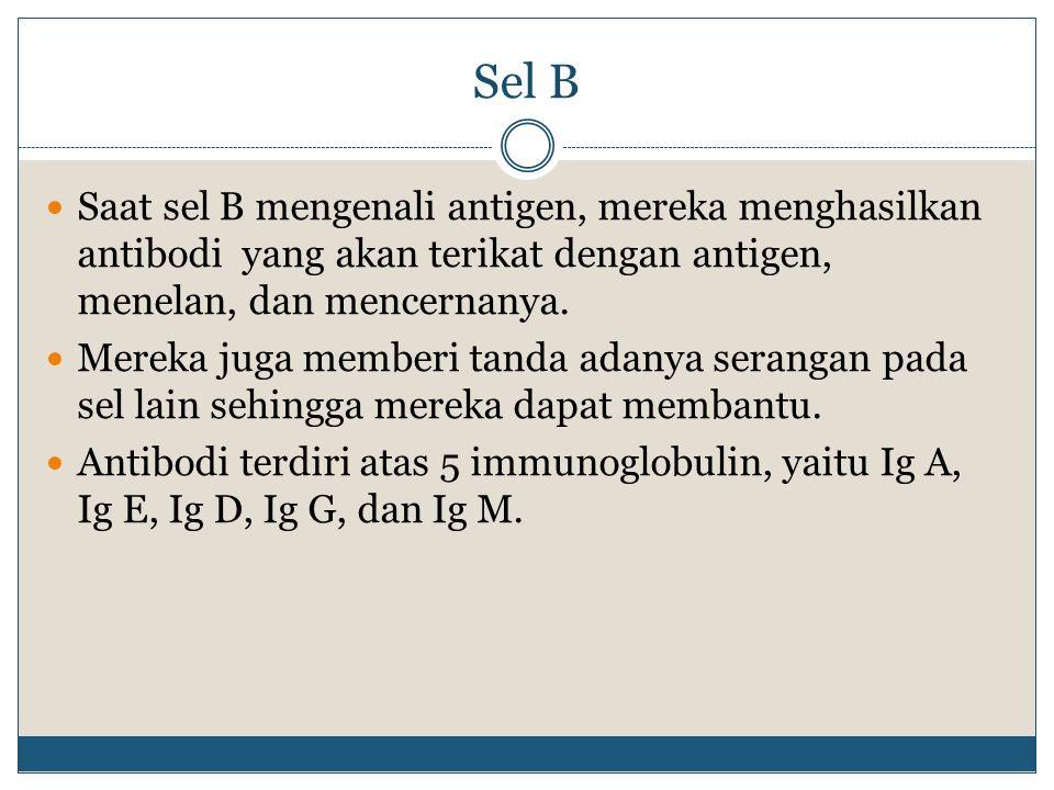 Sel B Saat sel B mengenali antigen, mereka menghasilkan antibodi yang akan terikat dengan antigen, menelan, dan mencernanya.