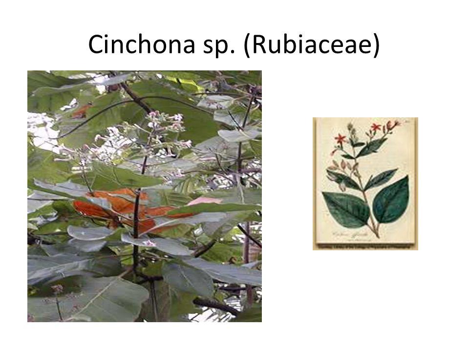 Cinchona sp. (Rubiaceae)