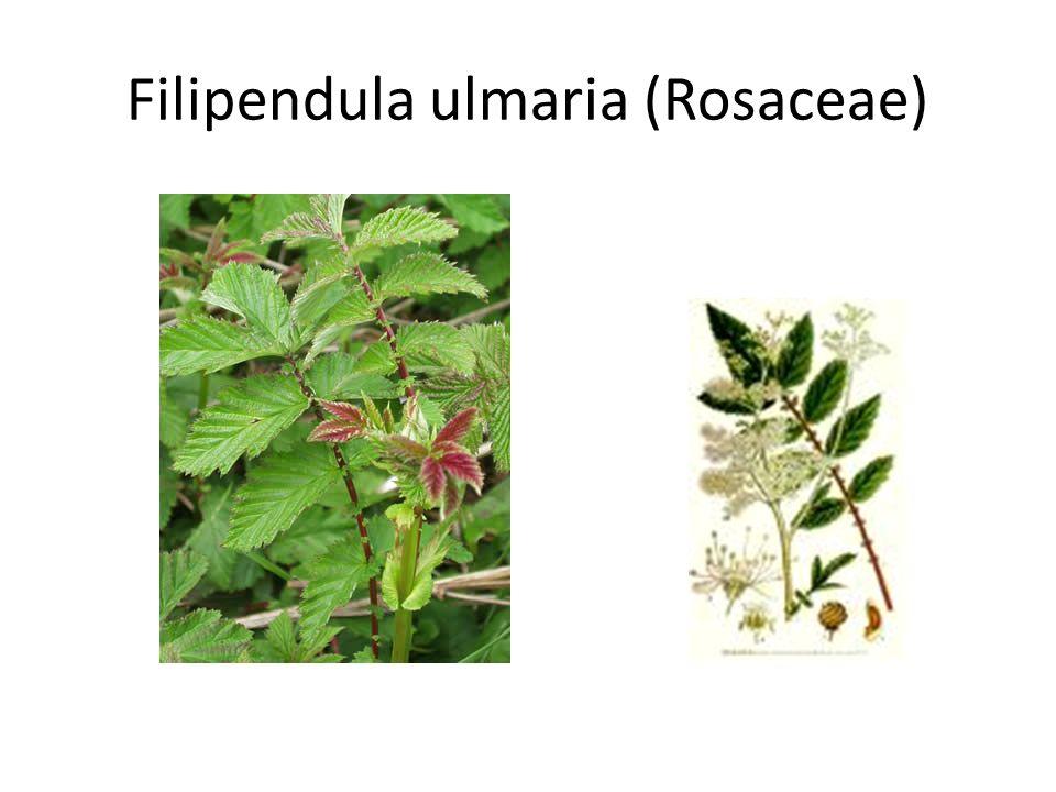 Filipendula ulmaria (Rosaceae)