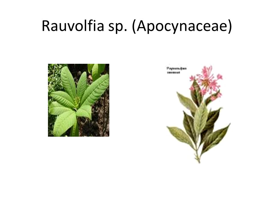 Rauvolfia sp. (Apocynaceae)