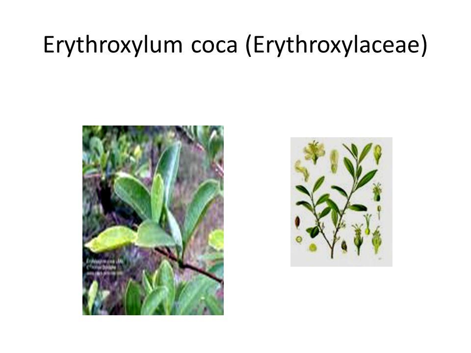 Erythroxylum coca (Erythroxylaceae)