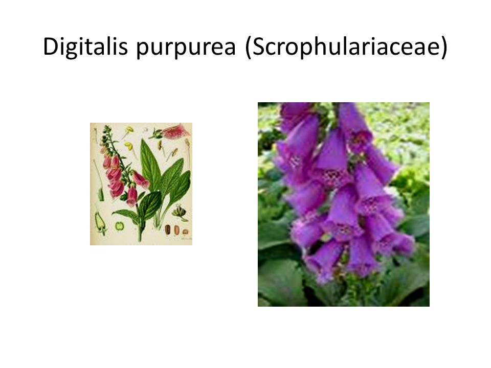 Digitalis purpurea (Scrophulariaceae)