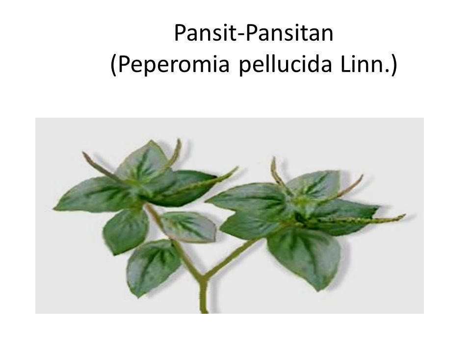 Pansit-Pansitan (Peperomia pellucida Linn.)