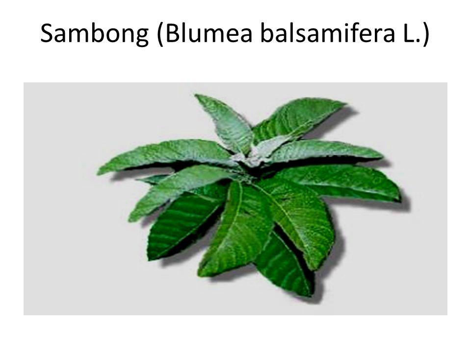 Sambong (Blumea balsamifera L.)