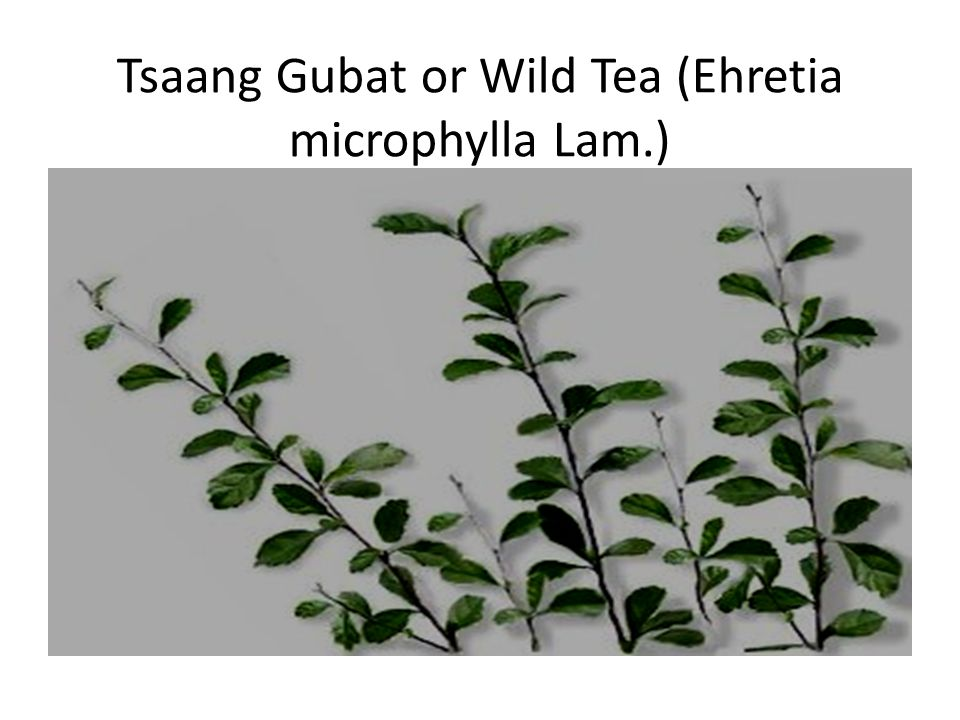 Tsaang Gubat or Wild Tea (Ehretia microphylla Lam.)