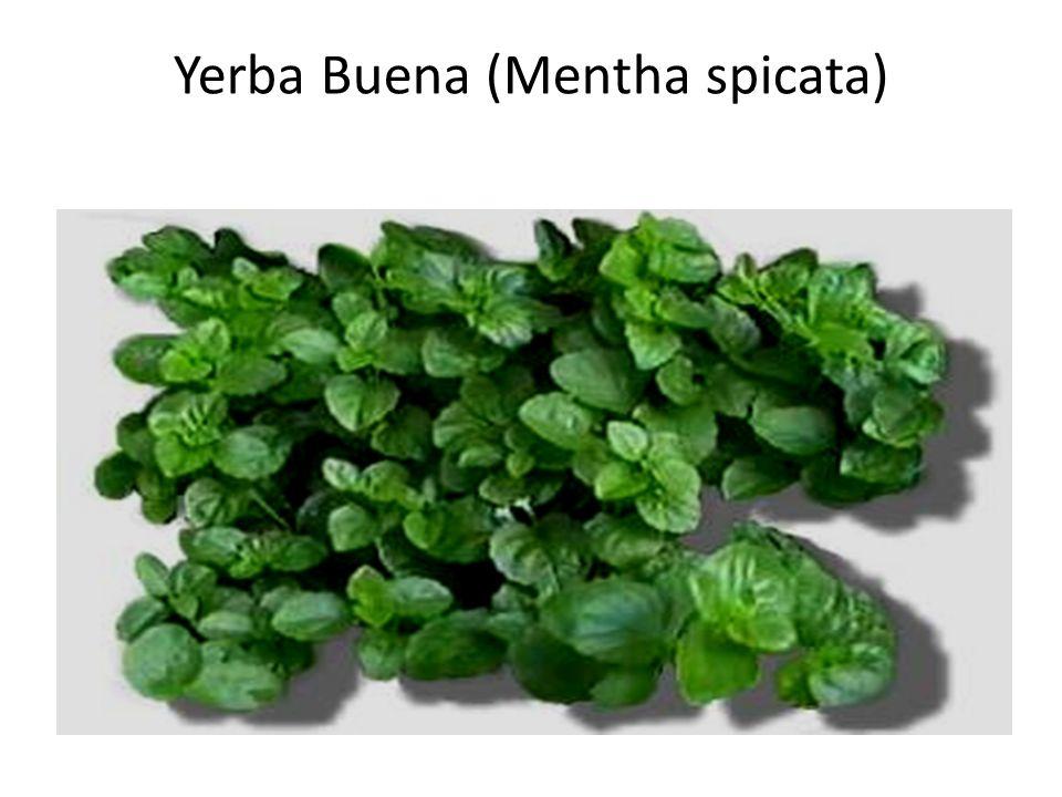 Yerba Buena (Mentha spicata)