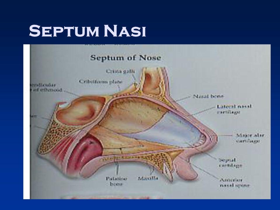 Septum Nasi