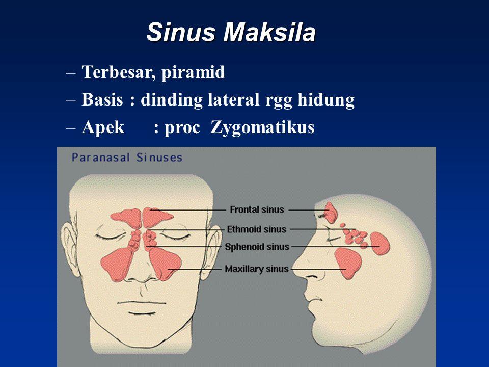 Sinus Maksila Terbesar, piramid Basis : dinding lateral rgg hidung