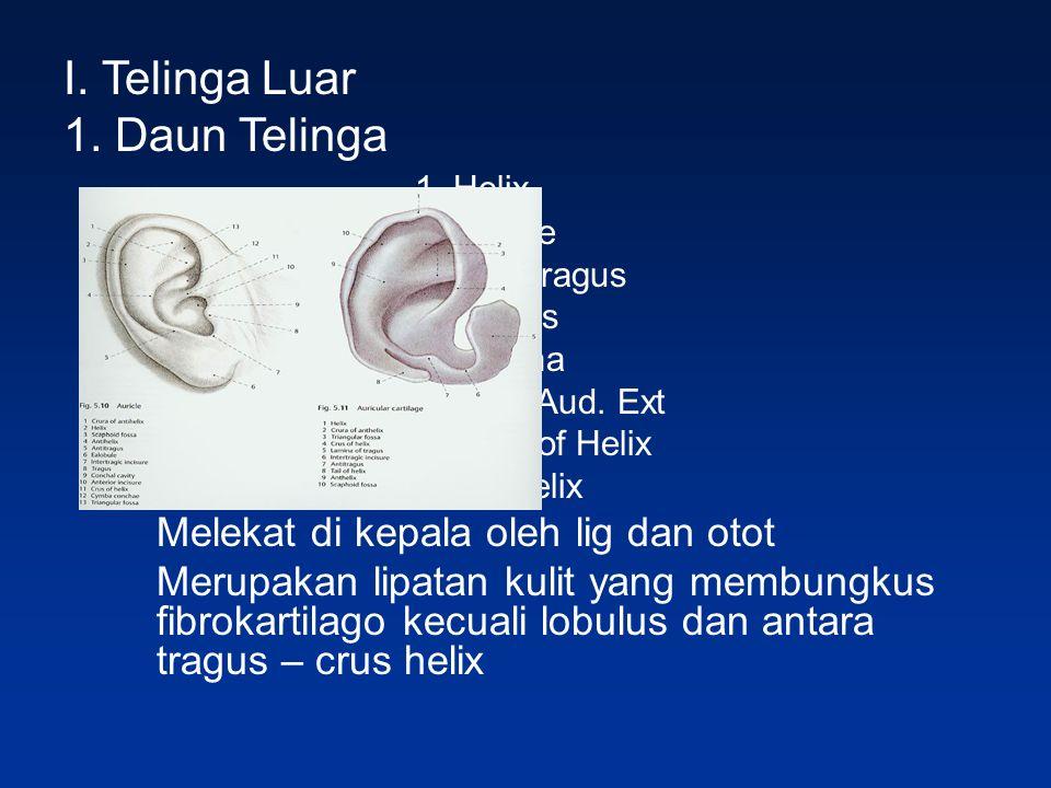 I. Telinga Luar 1. Daun Telinga 1. Helix