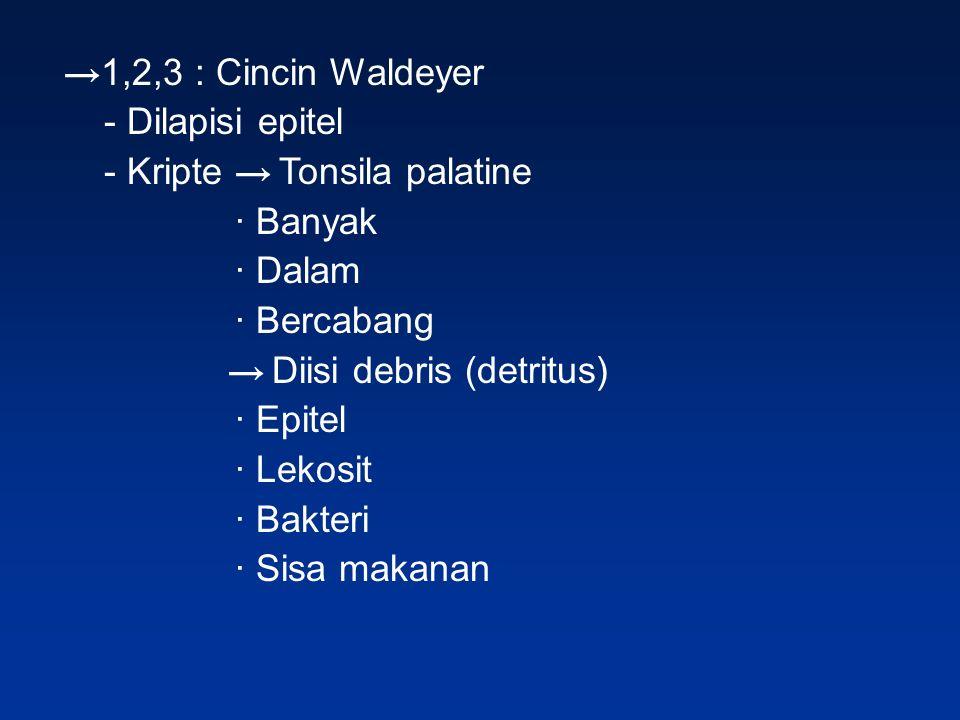 →1,2,3 : Cincin Waldeyer - Dilapisi epitel. - Kripte → Tonsila palatine. ∙ Banyak. ∙ Dalam. ∙ Bercabang.
