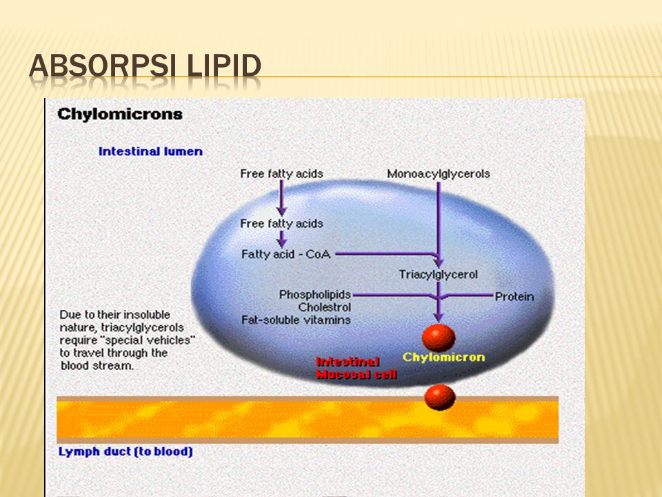 Absorpsi lipid