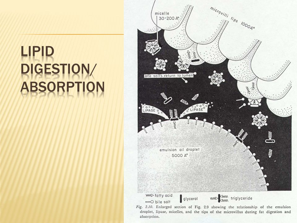 Lipid Digestion/Absorption
