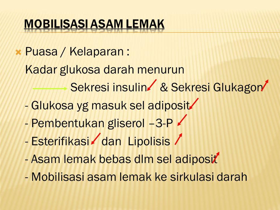 MOBILISASI ASAM LEMAK Puasa / Kelaparan : Kadar glukosa darah menurun. Sekresi insulin & Sekresi Glukagon.